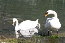 Free Family Of Swans Royalty Free Stock Photos - 14400448