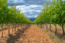 Free Vineyard To The Sky Royalty Free Stock Image - 14400676