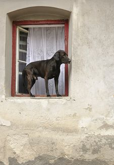 Dog In The Window Royalty Free Stock Photo
