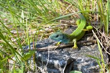 Free Lizard In The Grass Royalty Free Stock Photos - 14400958