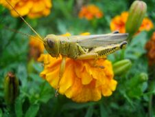 Free Grass Hopper On Orange Flower Royalty Free Stock Photo - 14401395