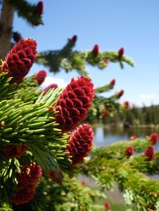 Free Pine Tree With Red Cones Royalty Free Stock Images - 14401409