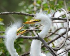 Free Juvenile Egret Siblings Stock Photography - 14401852