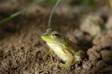 Free Frog Sitting Stock Images - 14402244