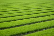 Free Rice Seedlings Stock Photography - 14402262