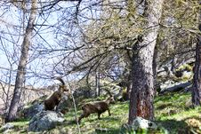Free Capra Ibex - Italy Stock Photo - 14402290