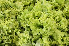 Free Lettuce Background Royalty Free Stock Photography - 14402397