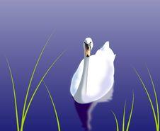 Free White Swan Royalty Free Stock Photos - 14402768