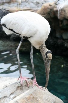 Free Wood Stork Stock Photography - 14403142
