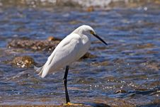 Free White Egret Standing In Shallow Water Royalty Free Stock Image - 14403376