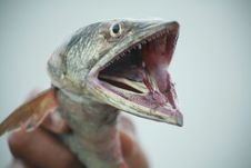 Free Large-toothed Fish Stock Image - 14403511