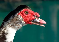 Free Muscovy Duck Portrait Stock Photography - 14403772