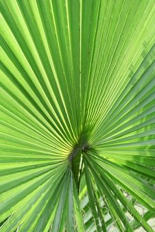 Free Palm Leaf Stock Images - 14403944