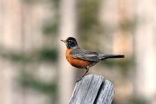 Free Robin On Old Fencepost Stock Photos - 14404033