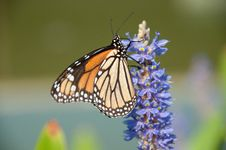 Free Monarch On Lilac Royalty Free Stock Images - 14404059