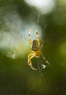 Free Spider In The Net Royalty Free Stock Photography - 14404327