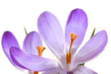 Free Lilac Spring Crocus Stock Images - 14404734