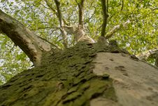 Free Platanus Acerifolia Royalty Free Stock Image - 14404856