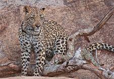 Free Leopard On The Rocks Stock Photos - 14404973