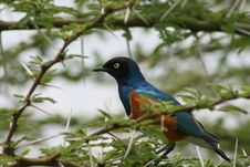 Free Africa, Lake NDUTU,superb Starling Royalty Free Stock Photos - 14404978
