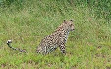 Free Leopard Cub In The Long Grass Of Africa Stock Photo - 14405000