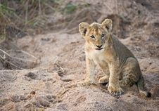 Free Lion Cub Sitting Alert In The Wild Royalty Free Stock Images - 14405019