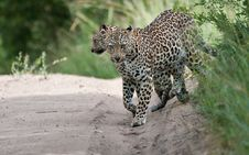 Free Leopard Mother And Cub Royalty Free Stock Image - 14405036
