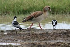 Free Africa, Lake Manyara, Goose Egyptian Royalty Free Stock Photography - 14405037