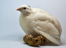Free White Quail With Eggs Stock Photo - 14405070