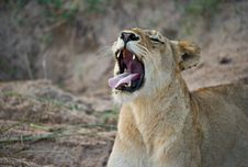 Free Lioness Yawning After A Long Day In Africa Royalty Free Stock Photo - 14405095