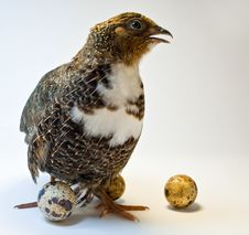 Free Smocking Quail With Eggs Stock Photography - 14405112