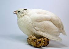 Free White Quail With Eggs Stock Images - 14405134
