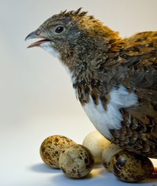 Free Smocking Quail With Eggs Stock Image - 14405161