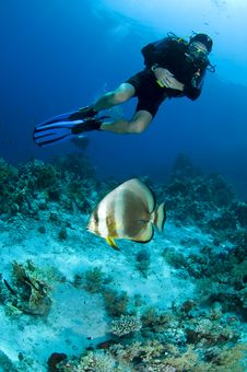 Scuba Diver Looking At Bat Fish