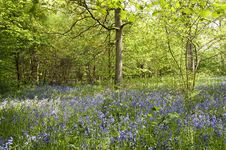 Free Bluebells In Spring Royalty Free Stock Image - 14405536