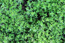 Free Thyme Background Stock Images - 14405564