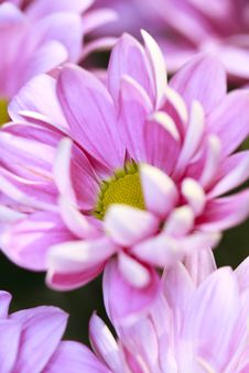 Free Pink Daisy Flowers Royalty Free Stock Image - 14405616