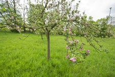 Free Blossoming Apple Trees Stock Photos - 14408183
