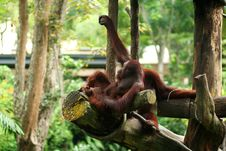 Free Orangutan Resting Royalty Free Stock Photography - 14408407