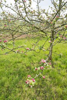 Free Blossoming Apple Trees Royalty Free Stock Photos - 14408528