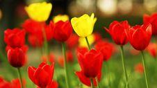 Free Tulip Stock Image - 14408981