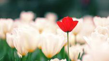 Free Tulip Royalty Free Stock Image - 14408996