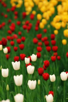 Free Tulip Royalty Free Stock Images - 14409049