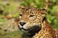 Free Portrait Of A Leopard Stock Image - 14410511