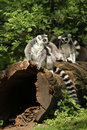 Free Ring-tailed Lemurs Sitting On A Log Royalty Free Stock Images - 14410559