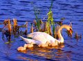 Free Swan Family Stock Images - 14411684