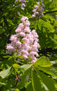 Free Chestnut Tree Flowers Royalty Free Stock Images - 14412199