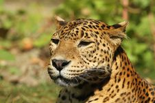 Portrait Of A Leopard Stock Image