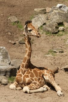 Young Giraffe Laying On The Ground Stock Photo