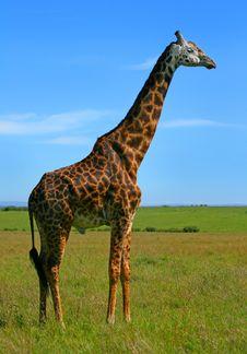Free Wild African Giraffe Stock Images - 14410654